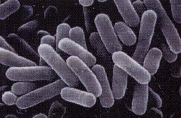 NS乳酸菌の顕微鏡写真